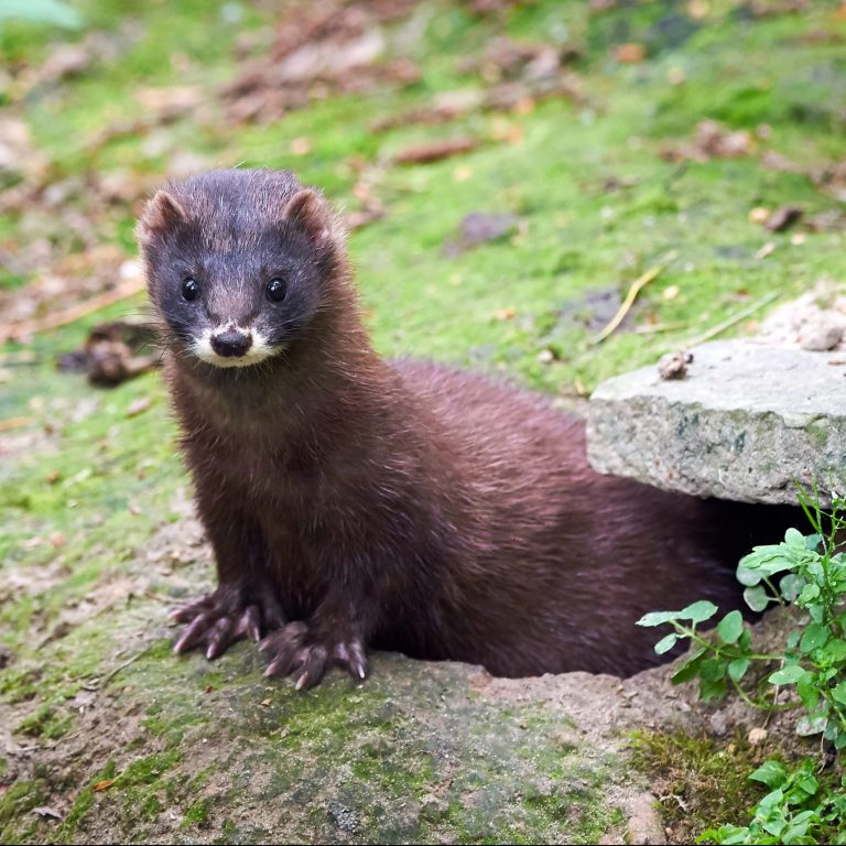 Coronavirus mutation infect minks COVID-19